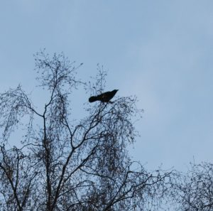 a crow in a birch tree