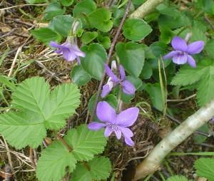 violets4