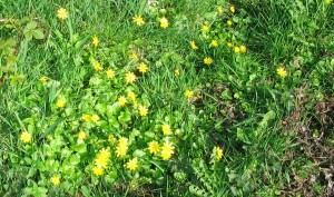 all the celandines