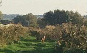 deer crossing track