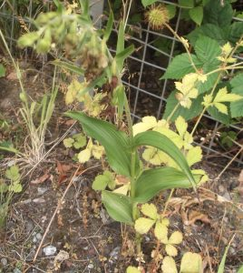 helleborine at the roadside