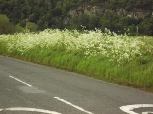 a bank with cow parsley