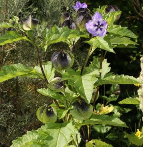 nicandra, showing flowers and seed-cases