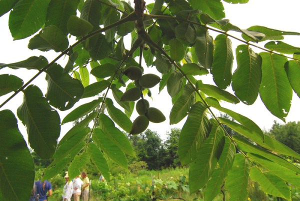 Chestnuts on Mark Shepard's farm.