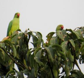 Rose-ringed Parakeet females