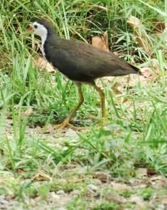 White-breasted Waterhen 1