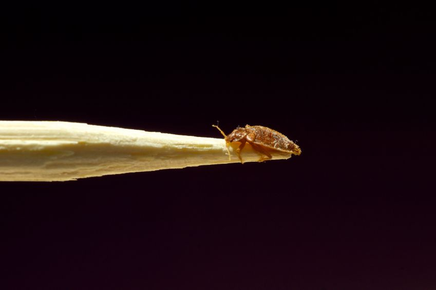 Bed Bug on stick.