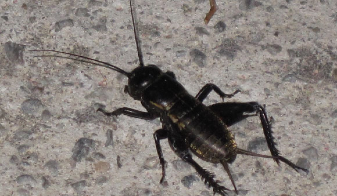5 Ways To Keep Out Crickets Burns Pest Elimination