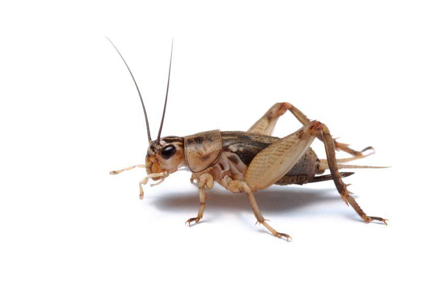 Cricket Choir Pest.
