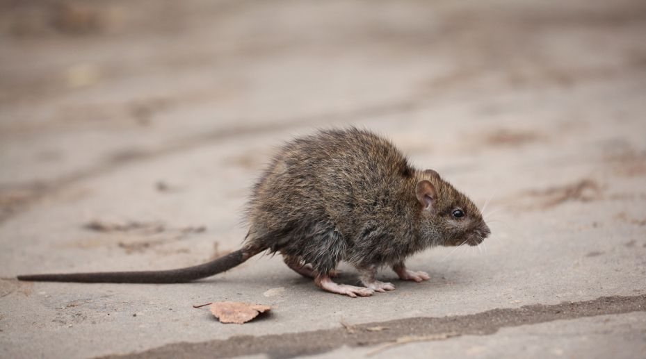 Get To Know Your Arizona Rat Burns Pest Elimination