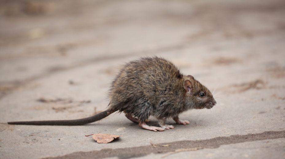 Roof rat.
