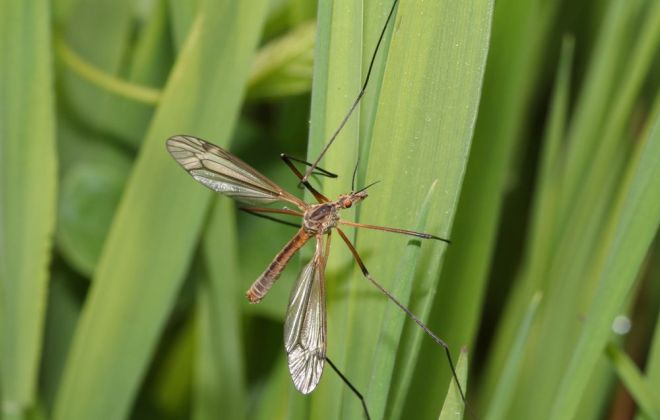 Crane fly.