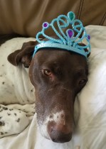 german shorthair pointer birthday
