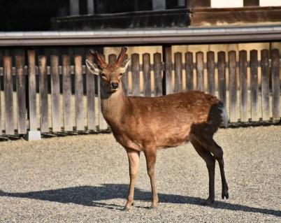 Nara has deer the way ordinary cities have rats