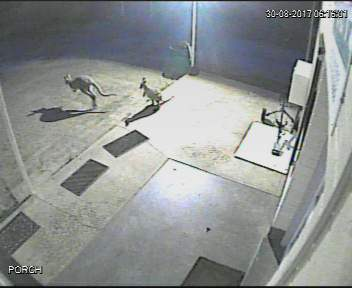 Kangaroos picked up on CCTV.