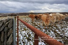 Cattle, Winter 2013
