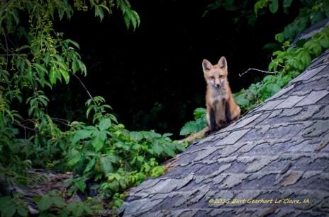 Iowa Foxes
