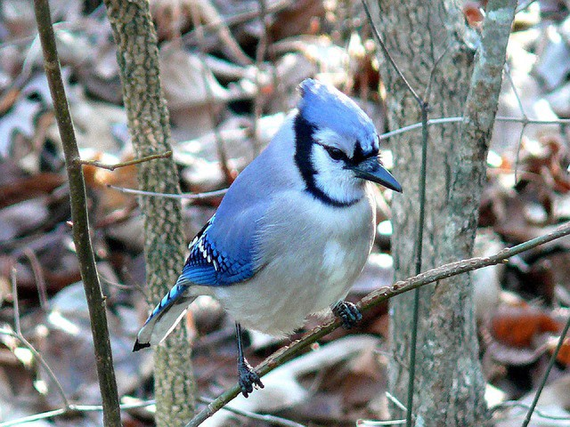 Burung Blue Jay (TheMysteriousWorld)