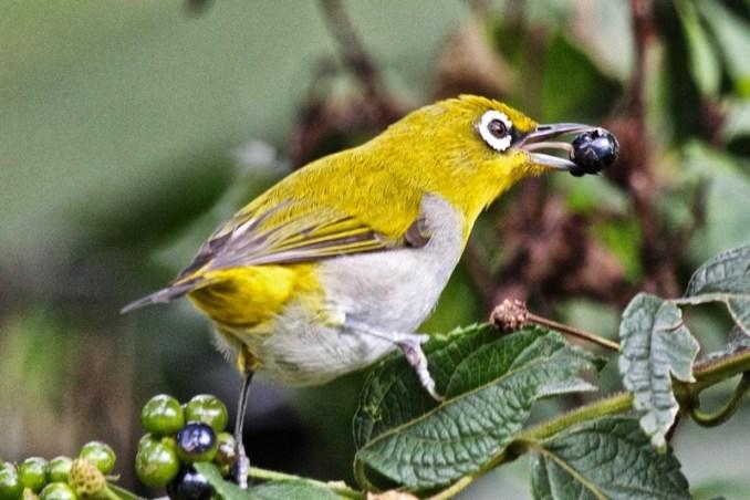 Burung Pleci Auriventer (dhanyinfo.blogspot.com)