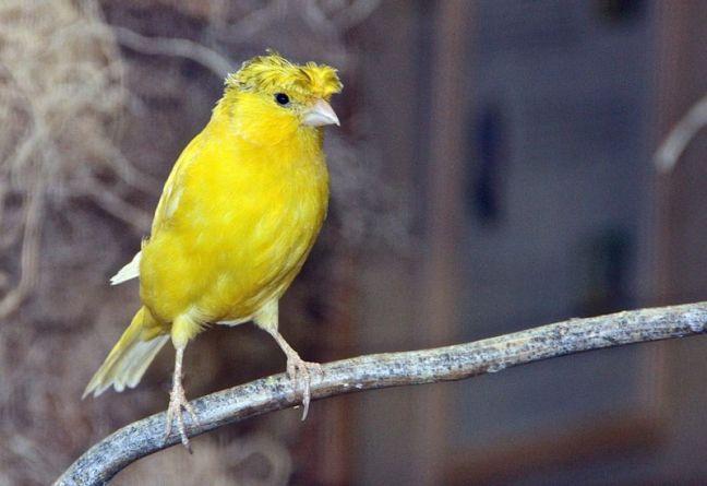 Burung Kenari Jambul (hdw7.com)