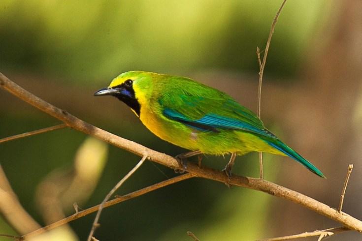 Burung Cucak Ijo Sumatera (hotspotbirding.com)