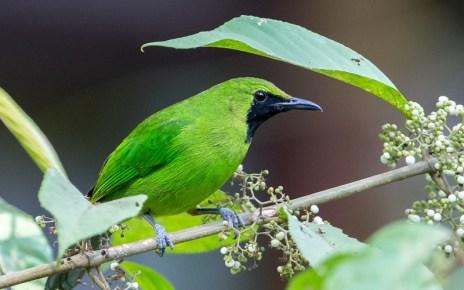 Burung Cucak Ijo (fredmiranda.com)