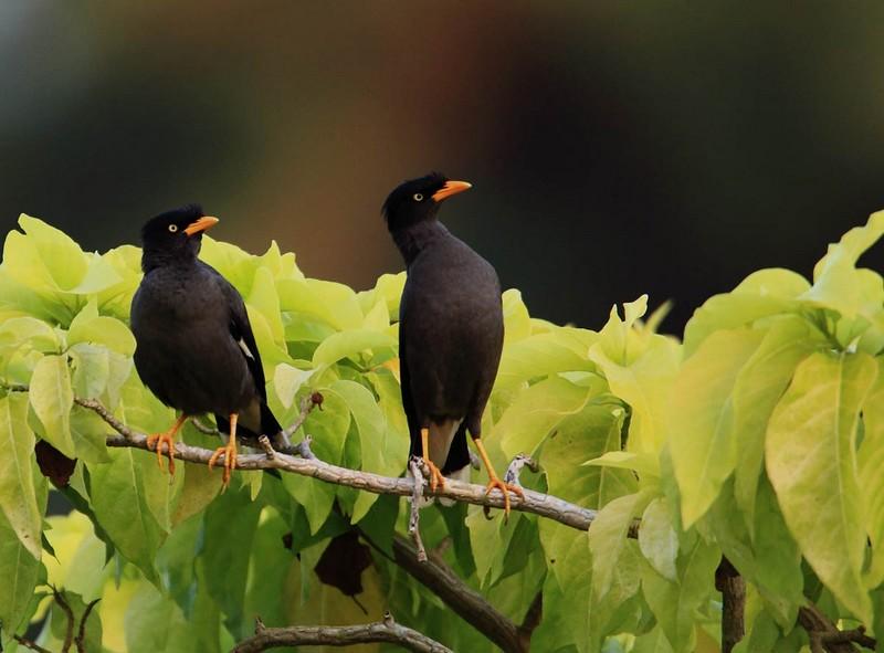 Burung Jalak Hitam (ibc.lynxeds.com)
