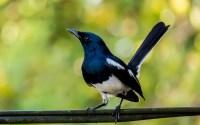 Burung Kacer (500px.com)