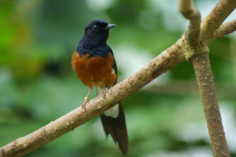 Burung Murai (jungledragon.com)