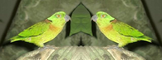 Lovebird Kerah Hitam (suggest-keywords)