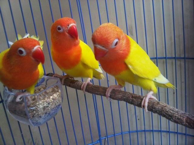 Lovebird Lutino (budidaya perawatan)