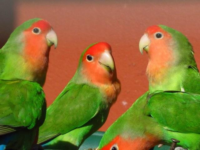 Lovebird Muka Salem (Wikipedia)