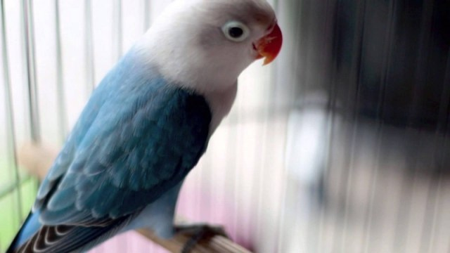 Lovebird Parblue (youtube)