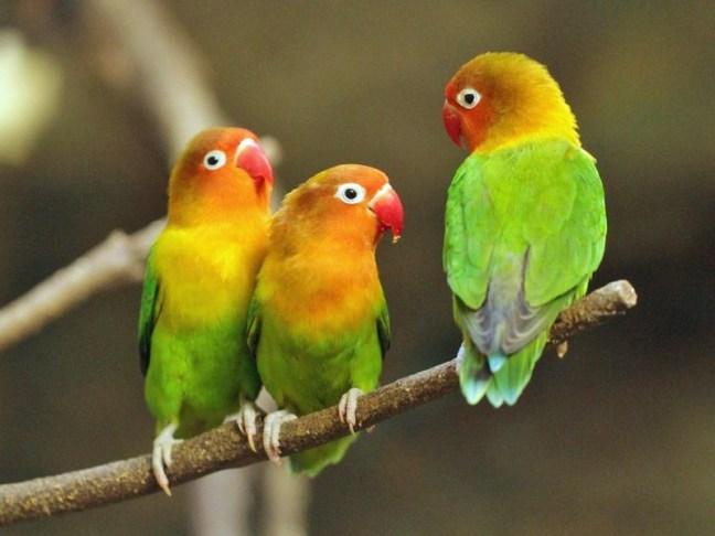 Lovebird (carolinabirds)