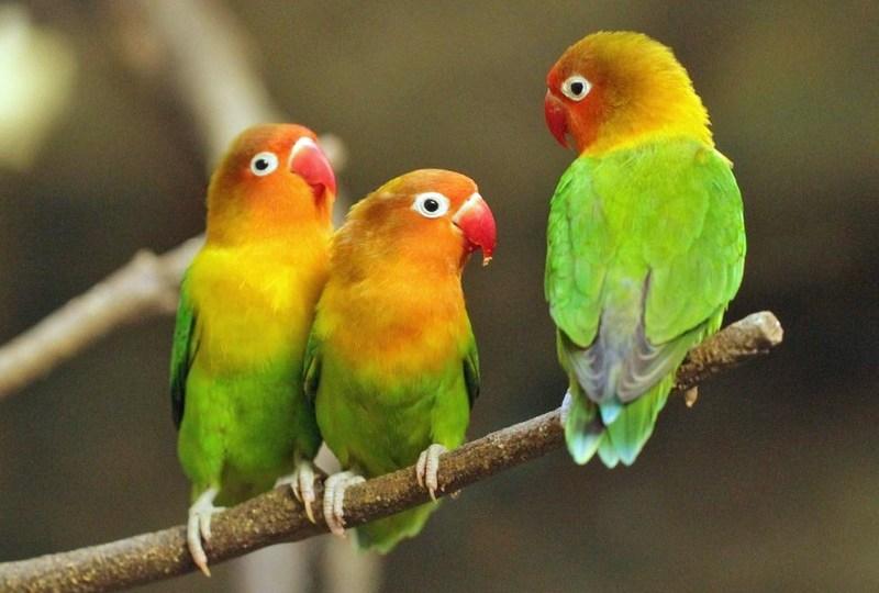 25 Jenis Lovebird Tercantik Lengkap dengan Gambarnya