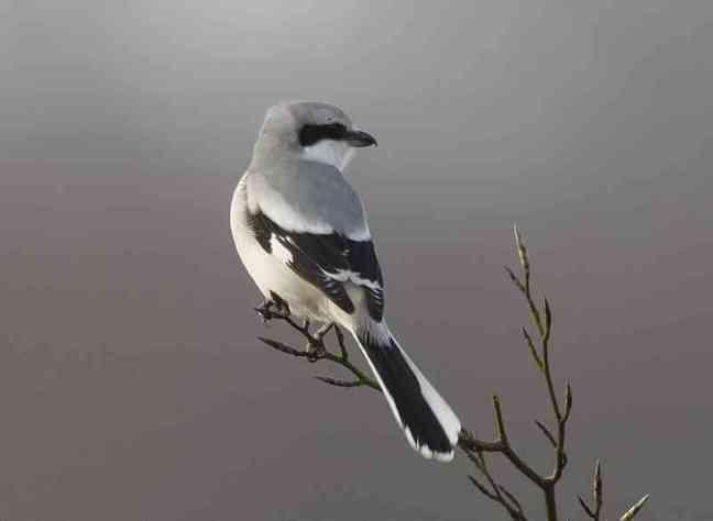 Great grey shrike atau Northern shrike, Lanius excubitor (archiesbirding.blogspot.com)