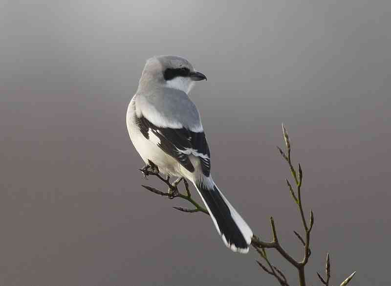 Great grey shrike atau Northern shrike, Lanius excubitor (archiesbirding.blogspot.com)