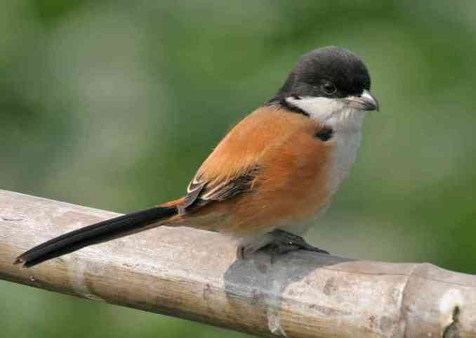 Long-tailed shrike, Lanius schach (wikipedia.org)