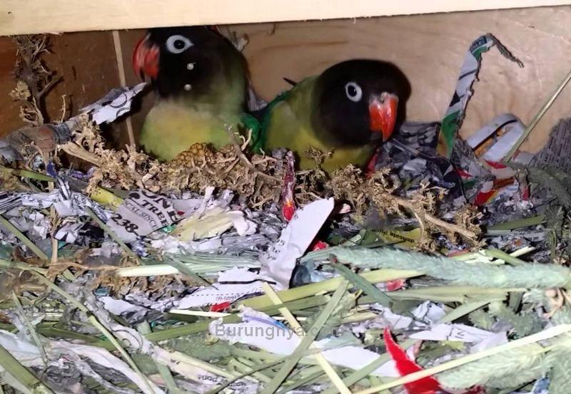 Lovebird jantan dan betina membuat sarang (youtube.com)