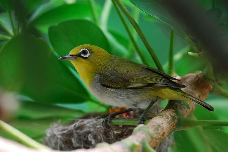 Burung Pleci (haes.cy.edu.tw)