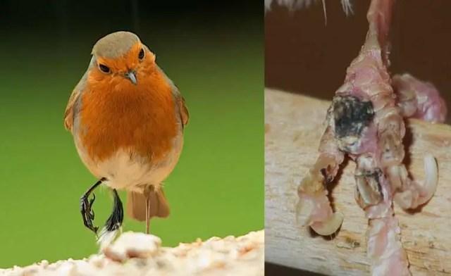 7 Penyebab Burung sering Mengangkat Kaki dan Cara Mengatasinya