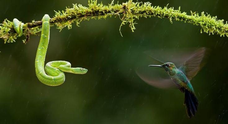 Ular Makan Burung (zimanga.com)