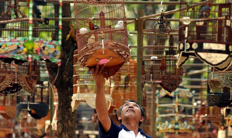 3 Kriteria Penilaian Lomba Burung Kicau Lengkap dengan Tata Cara Penilaian