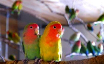 Lovebird (fosterparrots.com)