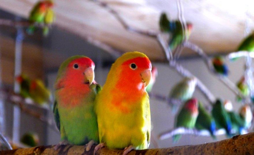 Usaha Sampingan Ternak Lovebird Lengkap dengan Analisa Perhitungan Biaya