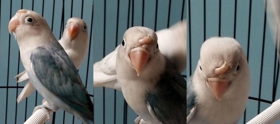 Penampakan Lovebird langka bertanduk (facebook.com)