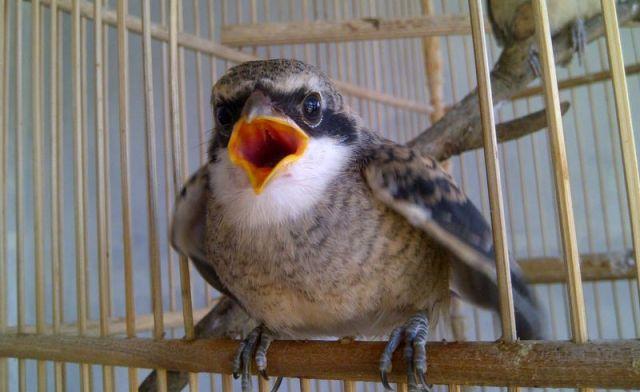 10 Masalah Umum Burung Cendet dan Cara Mengatasinya