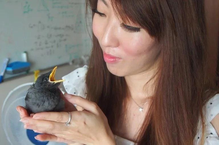 Burung Jalak Jinak (blog.omy.sg)