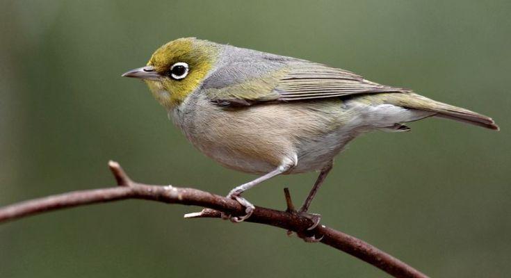 Burung Pleci bulu kusam (hotspotbirding.com)