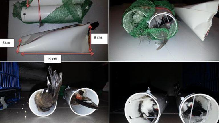 Burung dimasukkan pipa besar (channelnewsasia.com)